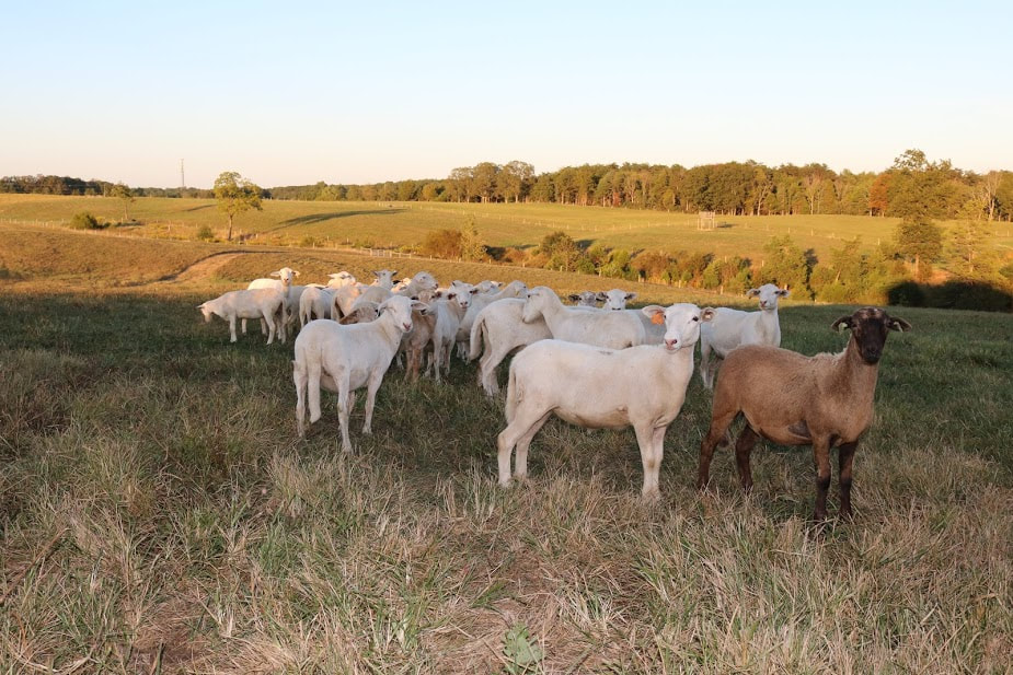 Our Katahdin sheep grazing pasture during a late summer evening in preparation for breeding season.