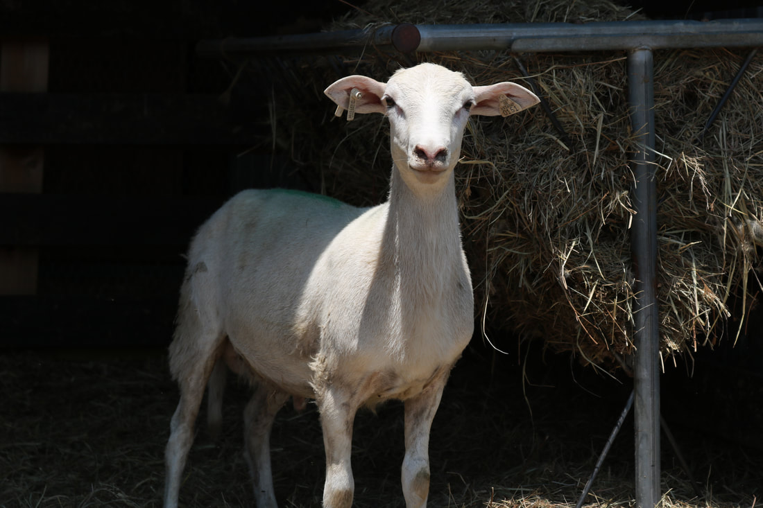 Commercial Katahdin ram lamb for sale